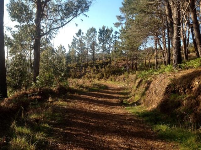 Poczatek sosnowego lasu