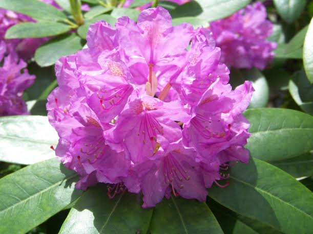 rododendron_roslina_mocy