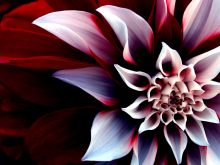 the_beautiful_enigmatic_flower